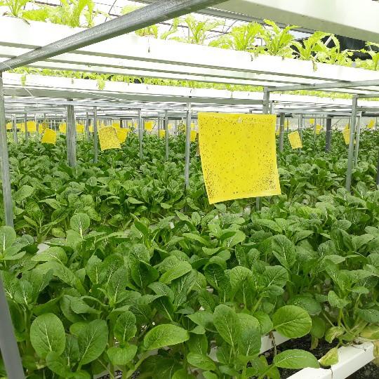Trong nhà lưới trồng rau thủy canh của anh Sơn gồm 2 tầng giàn sinh trưởng