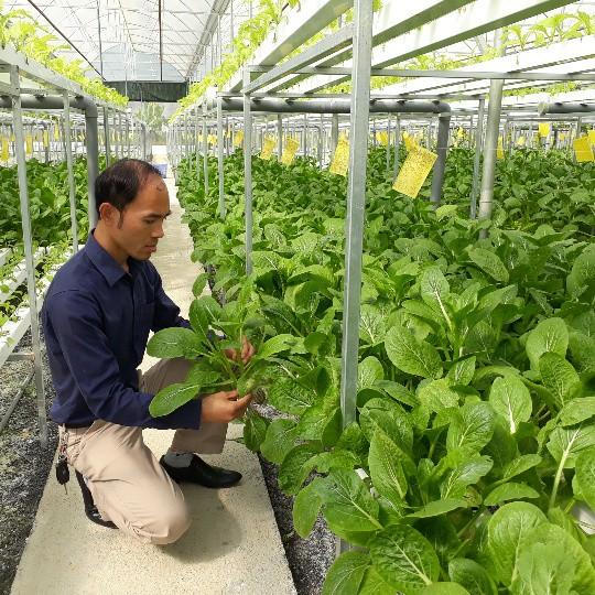 Các loại rau xanh do anh Sơn trồng không chỉ ngon, sạch, an toàn mà còn rất bắt mắt