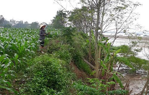 Nhiều diện tích đất nông nghiệp của bà con nhân dân bị sạt lở do nạn khai thác cát trộm.