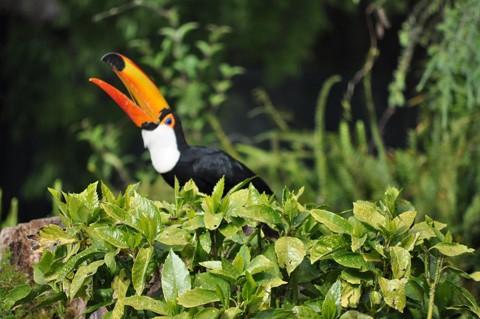"""Loài chim này có tiếng kêu khá lớn. Chúng thường xuyên kêu la inh ỏi trong rừng nên còn có biệt danh là """"chim nhiều chuyện""""."""