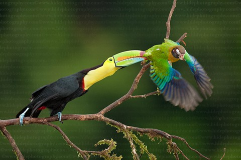 Thức ăn chủ yếu của chim Toucan là các loại trái cây, côn trùng, trứng và động vật bò sát.