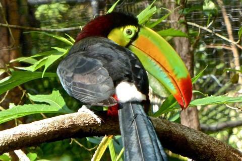 Bộ lông trên thân có màu đen, cổ và ngực màu vàng.