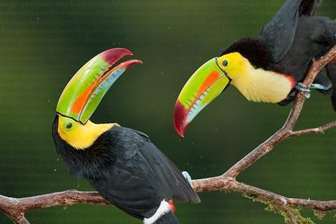 """Chim Toucan mỏ thuyền"""" sống trong hốc cây. Chúng thường họp thành các gia đình nhỏ, ăn trái cây và côn trùng lớn."""