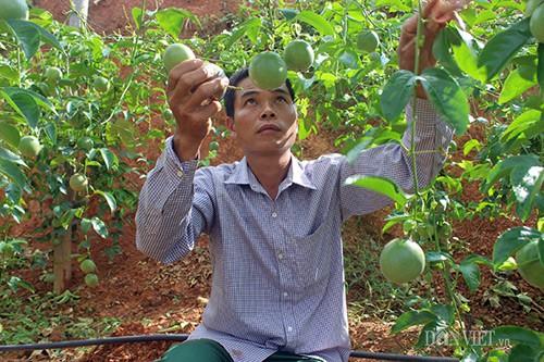 Anh Nông Mạnh Cường - Giám đốc HTX cho biết cây chanh leo phù hợp với thổ nhưỡng,khí hậu trong vùng nên rất sai quả. Ảnh: Liễu Chang