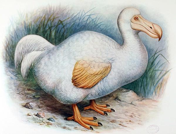 Chim Dodo qua tranh vẽ.