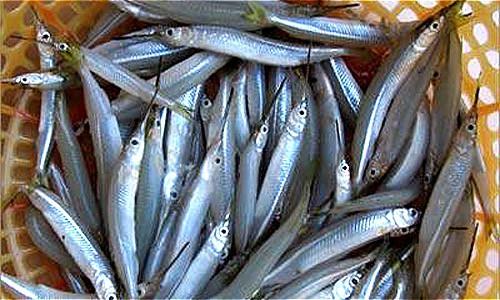 Cá lìm kìm chủ yếu sống trong tự nhiên, ít được dùng chế biến làm thức ăn.