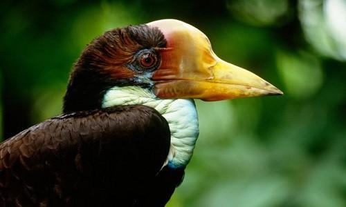 Chim Tê điểu hay còn gọi là Hồng hoàng mũ cát.