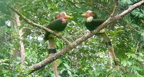 """Loài chim được mệnh danh là """"người chủ của những khu rừng nhiệt đới"""""""
