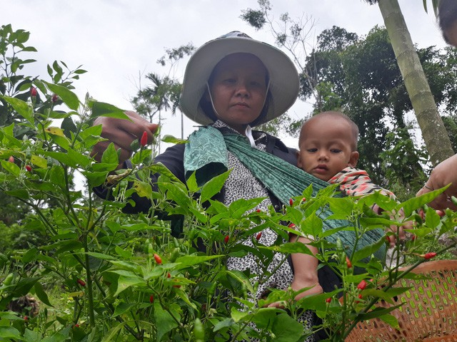 Mỗi tuần chị Hồ Thị Lan thu hoạch ớt xiêm rừng từ 1 - 2 lần thu về khoảng 600 ngàn đồng.