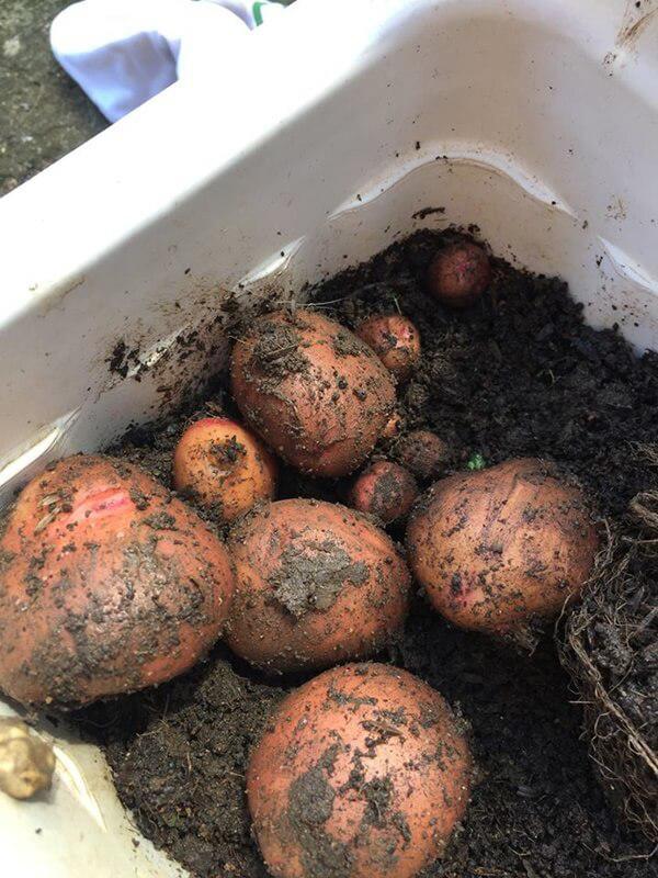 Năng suất của cây khoai tây trồng vu vơ này còn cao hơn cả những người có chủ đích trồng.