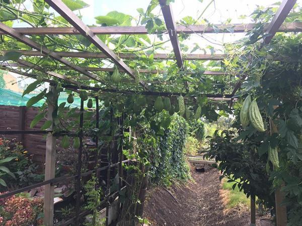 Không phụ công chị, khu vườn sau 1 năm đã phủ xanh mướt của các loại rau phổ biến ở Việt Nam như: mướp, su su, bầu bí...