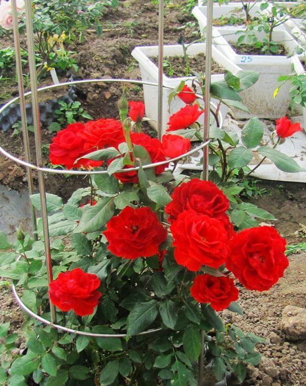 Hàng ngày, tưới vừa đủ nước vì hồng luôn cần đất ẩm để có thể phát triển tốt nhất. Sau 1 tuần, khi rễ cây đã cứng cáp là bạn có thể chuyển ra trồng trong vườn.
