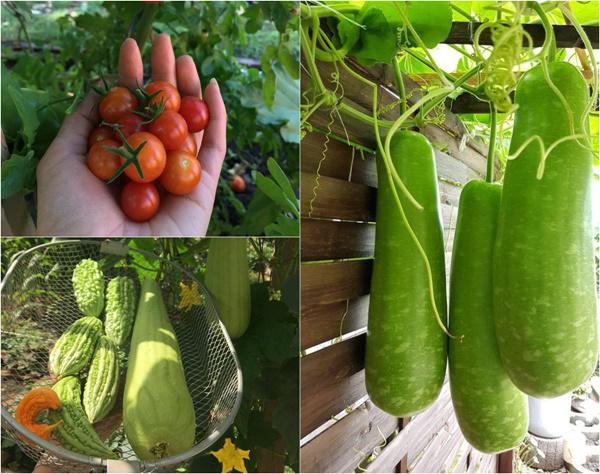 Từ ngày có vườn rau sạch, hiếm khi gia đình chị phải mua rau ngoài chợ.