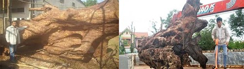Để mang được những khúc gỗ mục khổng lồ về nhà, anh Thành và Kết phải kéo gỗ bằng xe tải từ sâu trong rừng. Ảnh: NVCC.