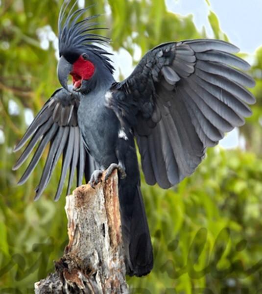 Vẹt Palm Cockatoo được tìm thấy lần đầu tiên vào năm 1788 bởi một nhà khoa học người Đức.