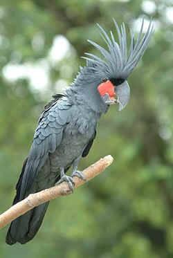 Khi đứng thẳng, nó đạt chiều cao từ 55 đến 60 cm và nặng từ 0,9 -1,2 kg. Chân của vẹt Palm Cockatoo màu xám và có ít lông. Trên đình đầu có mào cứng dài khoảng 15cm.
