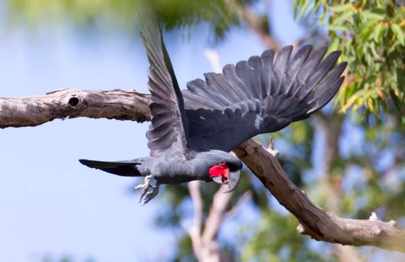 Đặc tính của chim trong hoang dã và trong điều kiện nuôi nhốt là khác nhau, chúng có thể bắt chước âm thanh của con người và động vật khác.