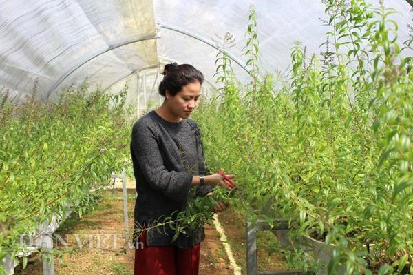 Cây sả chanh, một loại cây mà chị Thủy cho rằng phù hợp với khí hậu và con người Đà Lạt. Ảnh: Văn Long