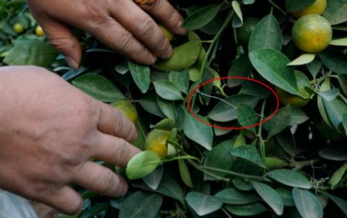 Để tạo thành hình dáng lộc bình, nghệ nhân cây cảnh phải thực hiện hàng trăm mấu nối (khoanh đỏ). Ảnh: Trọng Nghĩa.