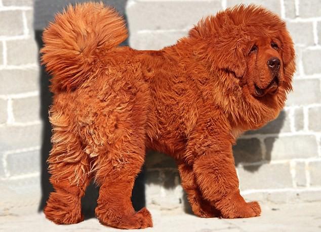 Chú chó ngao Tây Tạng con từng được bán với giá triệu đô.