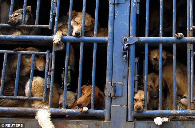 Ngao Tạng hoang đã bị nhồi nhét trên những chuyến xe, chuyển đến lò mổ (ảnh minh họa)