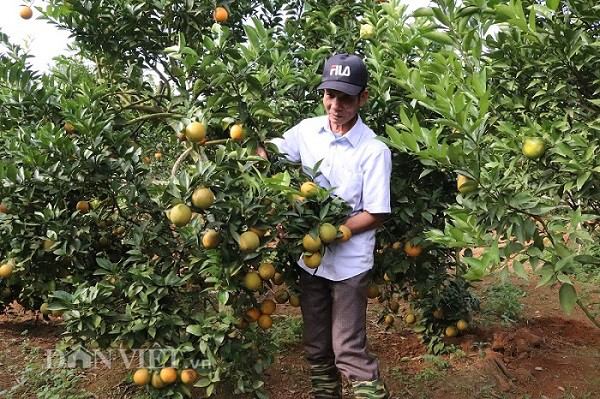 Trong vườn cam rộng 4 ha của ông Chất có mặt đầy đủ các loại cam như: Lòng vàng, Vinh, V2