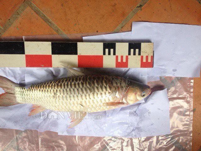 Một con cá chày lớn có chiều dài khoảng 50cm được bắt tại sông Đồng Nai.