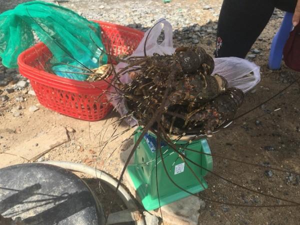 Tôm hùm bán chạy nên giá rớt thê thảm, chỉ còn từ 150.000 - 300.000 đồng/kg, thậm chí chỉ đạt từ 50.000 - 100.000 đồng/kg (tùy loại).