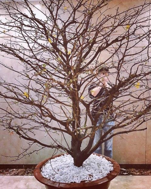 Nathan Lee lại khoe khéo căn hộ của mình qua vườn cây xanh mơn mởn và cũng không quên khoe chậu hoa mai đang đến mùa nở rô. Nam ca sĩ vui vẻ chia sẻ trên trang cá nhân : Tết này có mai rồi bà con ơi.
