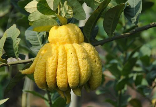 Phật thủ vừa là loại quả quý vừa mang ý nghĩa tâm linh là các loại trái ưu tiên dùng để dâng cúng - Ảnh: specialtyproduce.