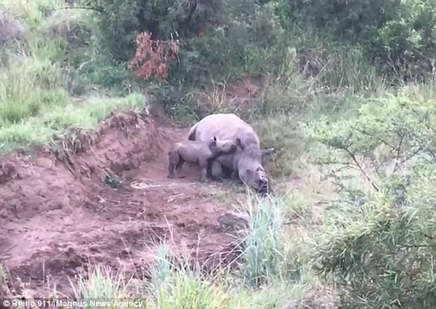 Mẹ chết vì săn trộm, chú tê giác con luẩn quẩn bên xác lay mẹ dậy, cố gắng bú trong vô vọng