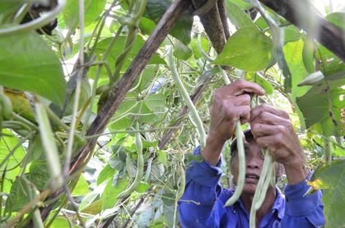 Giá đậu cô ve chỉ còn 1.000 đồng một kg khiến nông dân để trái già ngoài đồng. Ảnh: Phạm Linh.