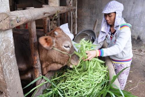 Chị Hòa đổ đậu cho bò ăn vì giá xuống thấp. Ảnh: Phạm Linh.