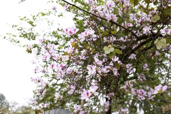 Hoa ban nở rộ trên đường Bắc Sơn.