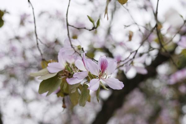 Hoa ban trên đường Bắc Sơn có sắc trắng hơi phớt tím.