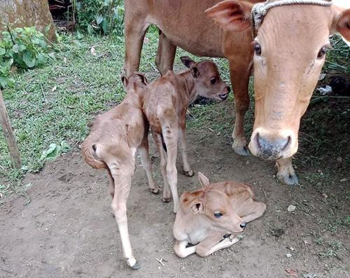 Bò mẹ sinh ba con bê hiếm gặp