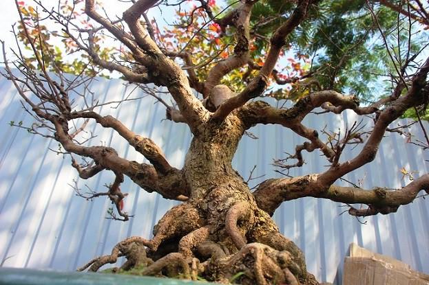 Mai bonsai cổ thụ giá bạc triệu ùn ùn xuống phố tìm đại gia dịp Tết