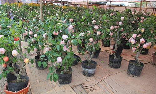3 triệu đồng một cây táo cảnh trưng Tết