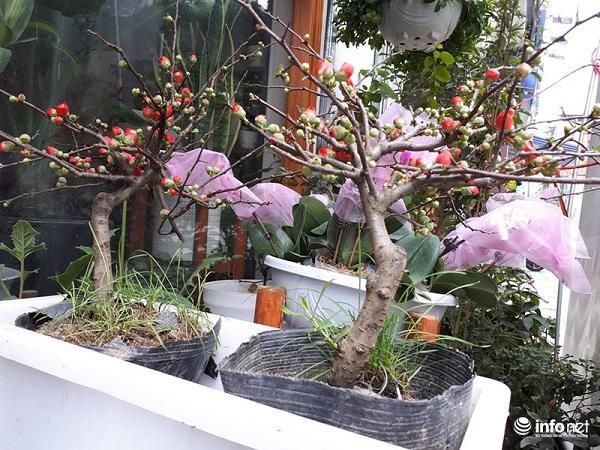 Cây mai đỏ có khả năng chịu lạnh cao, dù có tuyết rơi nhưng hoa mai đỏ vẫn có thể nở rộ rực rỡ nên hoa mai đỏ còn là biểu tượng cho sức sống mãnh liệt, sự kiên cường vươn lên nên được rất nhiều người yêu thích.