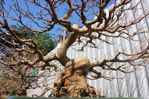Mai cổ thụ có dáng độc lạ được tiếp thị tại trung tâm thành phố Quy Nhơn.