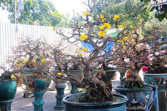Mai được trồng trong chậu chờ khách đến mua.