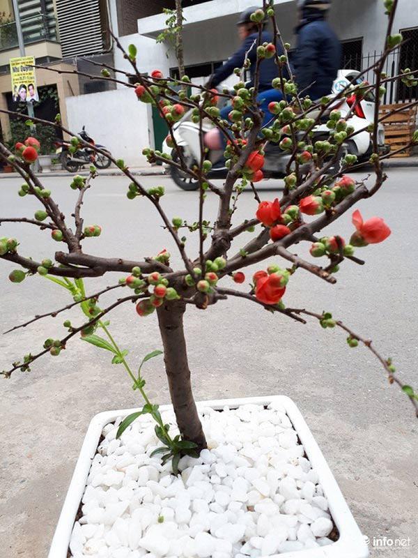 Nhiều cây mới được cửa hàng nhập về để kịp bán cho khách nở đúng dịp Tết.