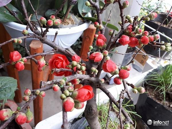 Mai đỏ có màu hoa đỏ thắm, tươi tắn nên được nhiều người ưa chuộng.