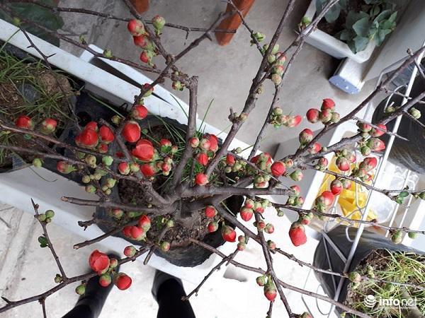 Mai đỏ có giá từ vài trăm ngàn đồng/cây, tùy cửa hàng và tùy từng thời điểm mua cây, vì càng giáp Tết giá càng tăng.