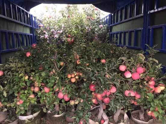 Táo cảnh bonsai Trung Quốc đang đổ bộ về thị trường Việt dịp cận Tết Nguyên đán