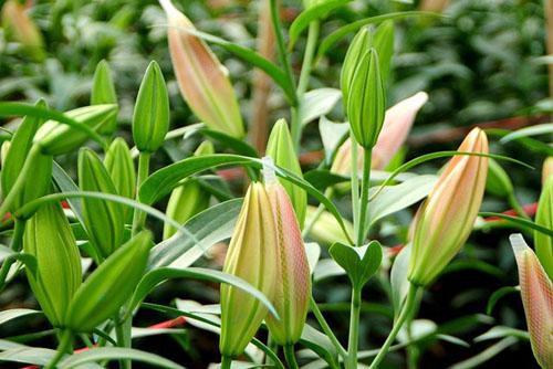 Nếu chọn cành hoa ly nên chọn những cành hoa nhìn lá tươi, sắc lá xanh, hoa cũng sáng.