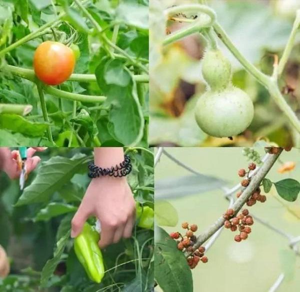 Nhờ có vườn rau tại gia này mà cô gái trẻ chẳng bao giờ phải lo thiếu thực phẩm sạch cho những bữa ăn của bản thân và gia đình.