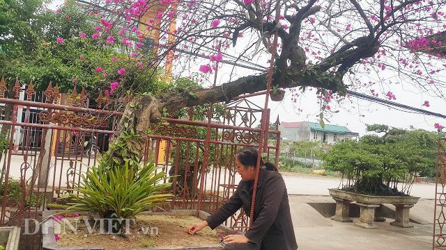 Cây hoa giấy của gia đình ông Phương không đơn thuần chỉ để chơi hoa như thông thường mà còn được coi là cây kiểng nghệ thuật , vì thế giá trị của cây càng cao.