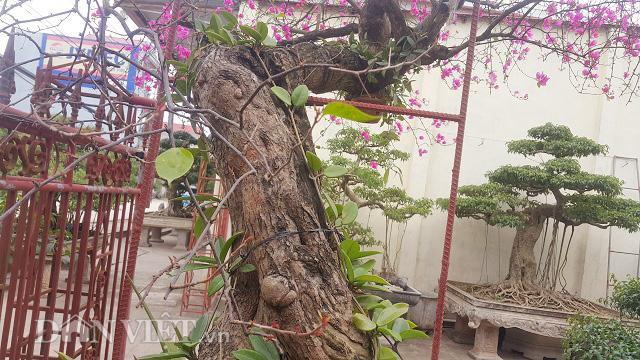 Thân cây già nua, sần sùi và có đường kính cực lớn.