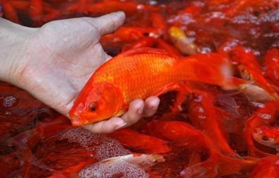 """Đừng nghĩ chỉ cá chép sống mới """"đưa"""" ông Táo lên trời được!"""